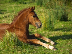 Foal Laying Down