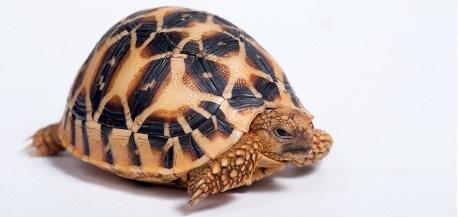 Indian Star Tortoise (Geochelone elegans) isolated on white background.